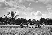 Workers in a rice paddy manually harvest rice by threshing near Tampaksiring, Bali, Indonesia.