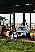 A sheep and two lambs wander in front of old machinery on a farm in the township of Canowindra, New South Wales, Australia.
