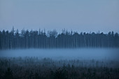 A birch forest in a fog at dawn in a rural area outside of Mosco