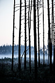 A birch forest in a fog at dawn in a rural area outside of Moscow Russia.