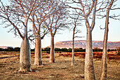 A grove of boab trees at sunrise with the Cockburn Range at Diggers Rest Station, Wyndham, Western Australia, Australia.