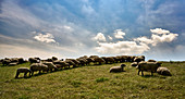 Sheep lined up on the Elbe dike near Grünendeich, Lower Saxony, Germany