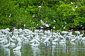 Group of Great white egrets (Ardea alba) looking for food in a pond, Sanibel Island, J.N. Ding Darling National Wildlife Refuge, Florida, USA