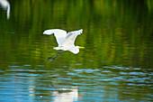 Great white egret (Ardea alba) in flight, Sanibel Island, J.N. Ding Darling National Wildlife Refuge, Florida, USA