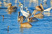 Group of Brown pelicans (Pelecanus occidentalis) and Great white egrets (Ardea alba) fishing, Sanibel Island, J.N. Ding Darling National Wildlife Refuge Florida, USA
