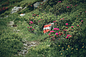 Klomnock circular route with trail markings framed by alpine roses, Nockberge Biosphere Park, Carinthia, Austria, Europe.