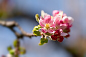 Apple blossoms in the spring light, Bavaria, Germany, Europe