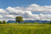 Spring meadow in the foothills of the Alps with a view of the snow-covered peaks of the Estergebirge, Huglfing, Etting, Weilheim, Bavaria, Germany