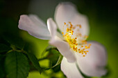 Blossom of a wild rose in spring light, Bavaria, Germany, Europe