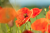 Colorful poppy blossoms on the wayside, Bavaria, Germany, Europe