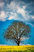 Old English oak (Quercus robur), on the Hödinger Berg, Hödingen, Lake Constance district, Upper Swabia, Baden-Wuerttemberg, Germany, Europe