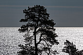 The silhouette of a pine tree in the backlight by the sea, Härnösand, Västernorrland, Sweden