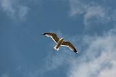 Close up of a seagull in flight over Lake Siljan, Rättvik, Dalarna, Sweden