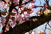 Detail view of cherry blossom trees, Munich, Bavaria, Germany, Europe