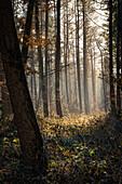 Morning mood in the misty Barkeler Busch forest, Schortens, Friesland, Lower Saxony, Germany, Europe