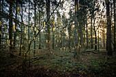 Blooming hazelnut in the Barkeler Busch forest, Schortens, Friesland, Lower Saxony, Germany, Europe