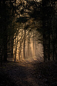 Morning light on path in the misty Barkeler Busch forest, Schortens, Friesland, Lower Saxony, Germany, Europe