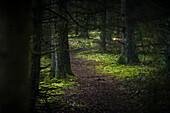Path between conifers in the misty Barkeler Busch forest, Schortens, Friesland, Lower Saxony, Germany, Europe