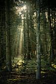 Sun rays between conifers in the misty Barkeler Busch forest, Schortens, Friesland, Lower Saxony, Germany, Europe