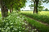 Dirt road in the Bockhorner Moor, Friesland, Lower Saxony, Germany, Europe
