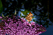Butterfly 'Small fox' foraging on a buddleia