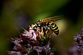 Field wasp feeding on a buddleia