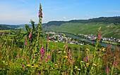 Moselle near Kinheim near Kröv on the Moselle, Rhineland-Palatinate, Germany