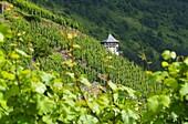 Viticulture above Bernkastel-Kues on the Moselle, Hunsrück, Rhineland-Palatinate, Germany