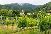 Viticulture near Königsbach on the Palatinate Wine Route, Rhineland-Palatinate, Germany