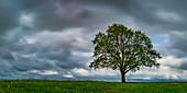 Maple tree (Acer pseudoplataus) near Kornhofen, Allgäu Alpine Foreland, Allgäu, Bavaria, Germany, Europe