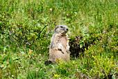 Alpine marmot (Marmota marmota), Allgäu Alps, Allgäu, Bavaria, Germany, Europe