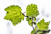 Young foliage leaf with raindrops, Frankenjura, Bavaria, Germany