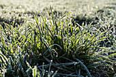 Grass with hoarfrost, Frankenjura, Bavaria, Germany