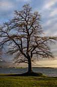 Tree at Chiemsee, Übersee, Bavaria, Germany