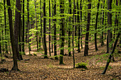 Mixed forest in the Palatinate Forest, Hermersbergerhof, Rhineland-Palatinate, Germany