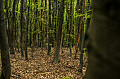 Young beech forest in the Palatinate Forest, Hermersbergerhof, Rhineland-Palatinate, Germany