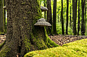 Tree fungi on a spruce in the Palatinate Forest (natural forest reserve), Hermersbergerhof, Rhineland-Palatinate, Germany