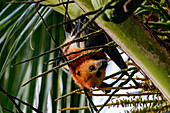 A fruit bat hangs upside down from a palm tree on the island of Mauritius in the Indian Ocean