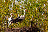 A pair of storks stands very attentively in their naturally built nest