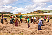 Farmers work in a field in a scenic Myanmar countryside to thresh the rice