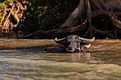 A water buffalo makes eye contact with a passing boat in Myanmar