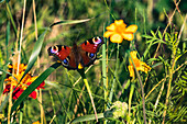 Colorful peacock butterfly sitting on a yellow blossom in a flower meadow
