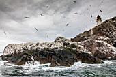 Bass Rock, bird island with gannet colony, lighthouse, Scotland, UK