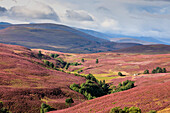 Flowering heather, highlands, rolling hills at Bridge of Brown, Scotland UK