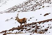 Red deer, antlers, stag in snow, Royal Deeside, Braemar, Aberdeenshire, Scotland, UK