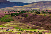 Ryvoan Walk, Meall a 'Bhuachaille, hiking hut, bright purple, pink, flowering heather, Glenmore Forest Park, Cairngorms National Park, Scotland, UK