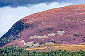 Cairngorms footpath in summer with heather in bloom, bright purple, pink, flowering heather, Highlands, Scotland, UK