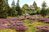 Heather blossom, Cairngorms, Royal Deeside, Highlands, Aberdeenshire, Scotland, UK