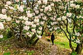 Rhododendron flowers in Crarae Garden at Inverary, Argyll, Scotland UK