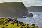 Cliff, Hermaness Sheep Nature Reserve, Shetland, Scotland UK